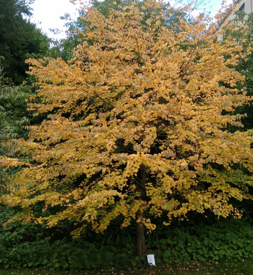 katsura-tree-cercidilphyllum-japonicum
