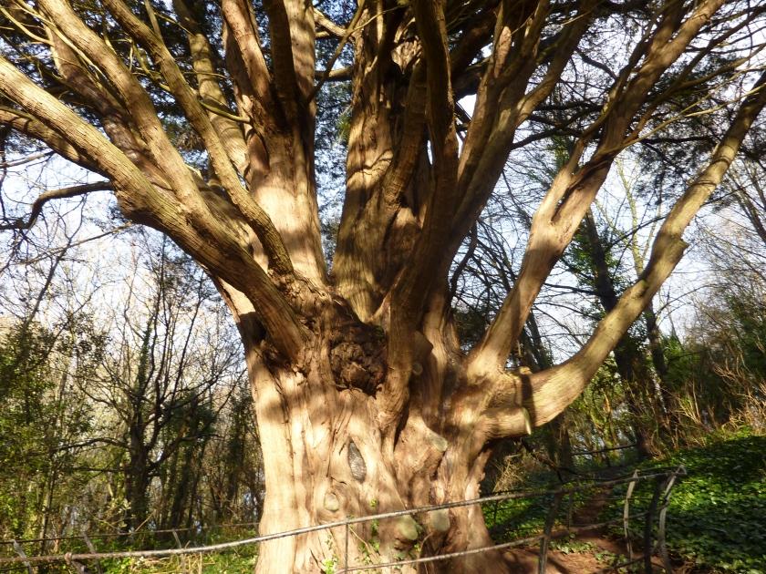 monterey-cypress-bishops-knoll