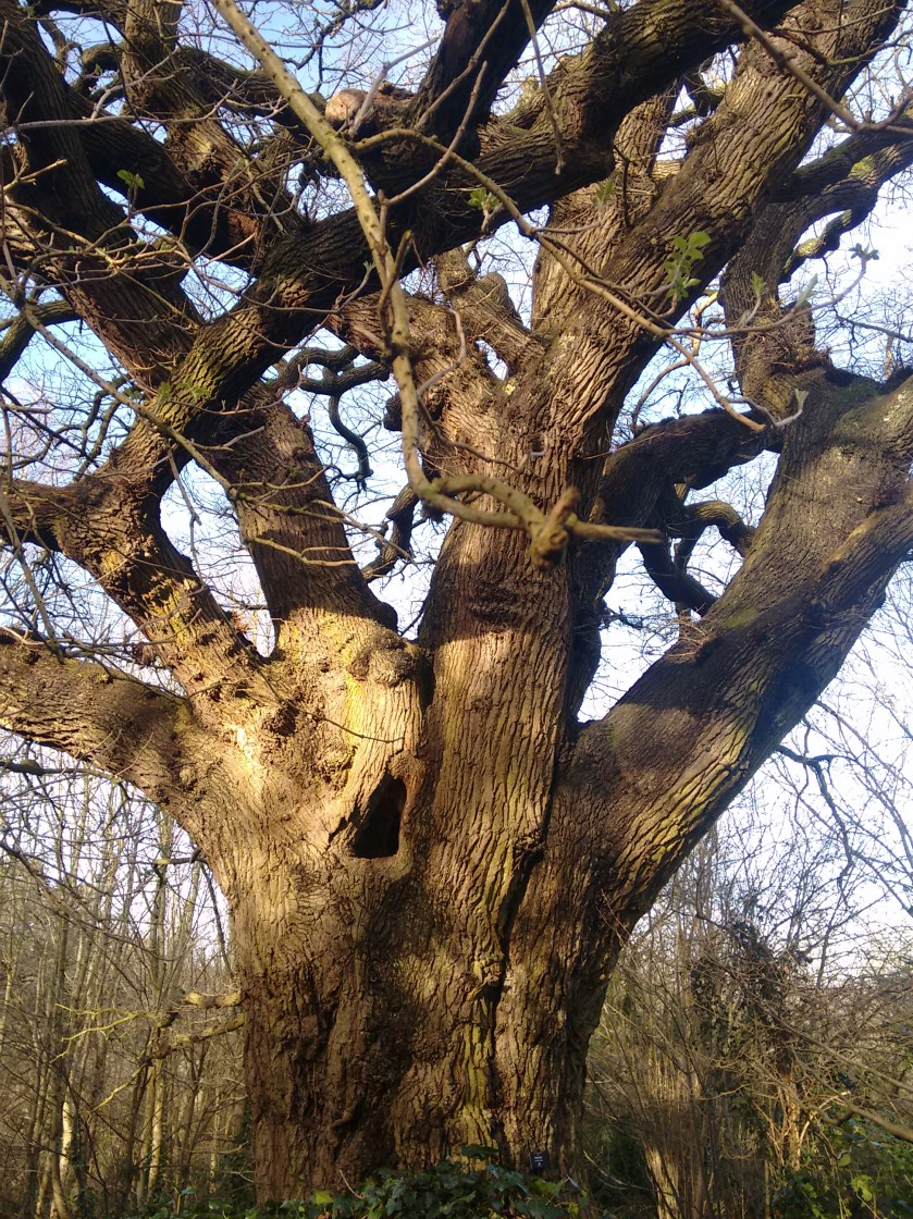 quercus-petraea-bishops-knoll-wood
