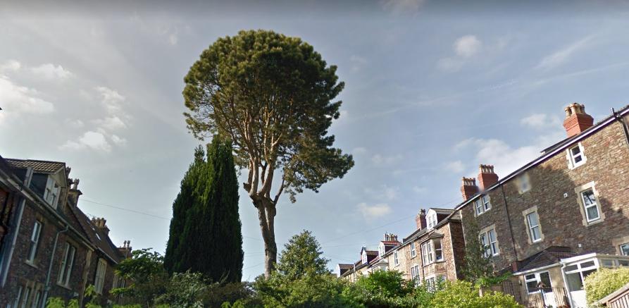 St John's Rd Pinus nigra