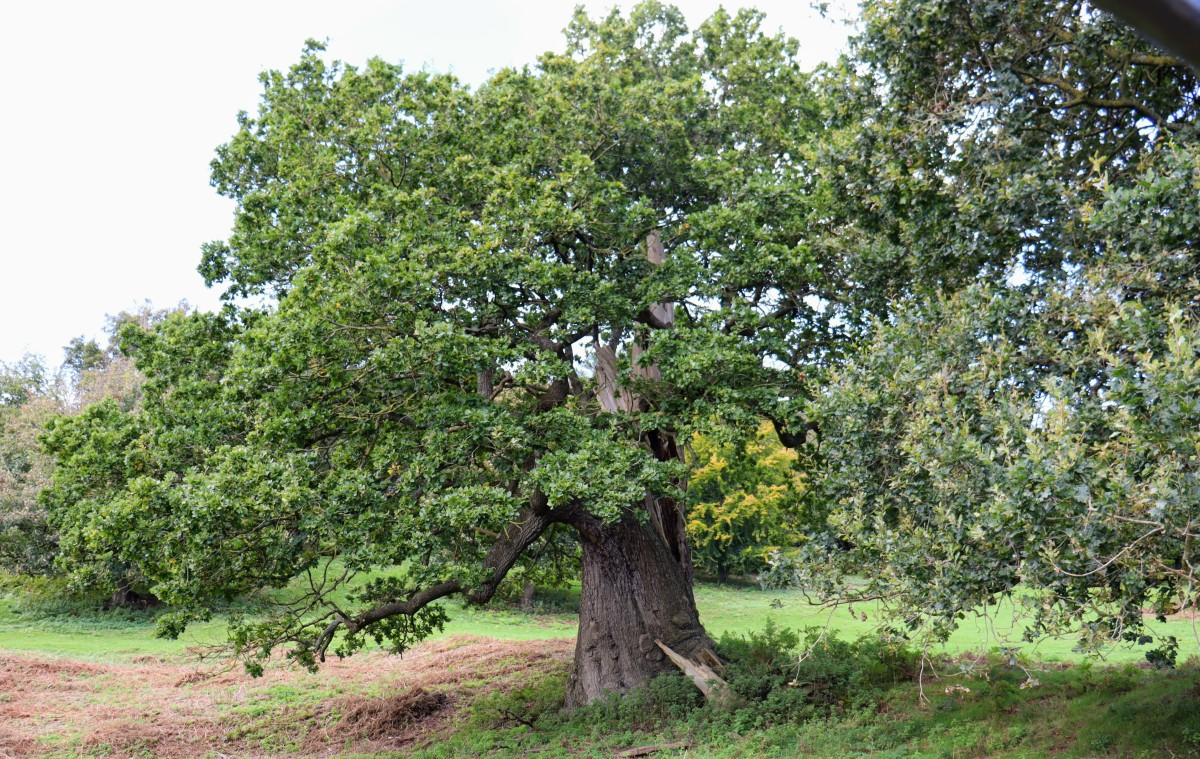 Bristol Tree Forum tree planting campaign – free Oak saplings available for planting